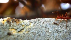 Röda myror bär din egen matlarv Makrovideo stock video