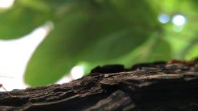 Röda myror går lager videofilmer