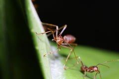 Röda myror på bladet Arkivbilder