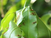 Röda myror som bygger sidor, bygga bo fotografering för bildbyråer