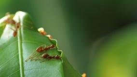 Röda myror som bygger sidor, bygga bo arkivfoto