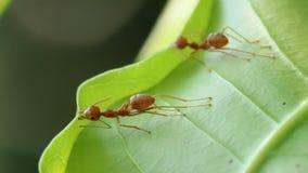 Röda myror som bygger sidor, bygga bo royaltyfri bild
