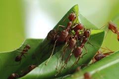 Röda myror som bygger sidor, bygga bo royaltyfria foton