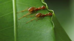 Röda myror som bygger sidor, bygga bo arkivbilder