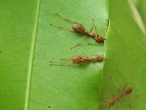 Röda myror som bygger sidor, bygga bo royaltyfri foto