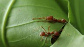 Röda myror som bygger sidor, bygga bo royaltyfri fotografi