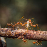 Röda myror som tillsammans arbetar Arkivbild