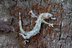Röda myror team arbete, röda myror bär ödlan för att bygga bo, myror bär mat Royaltyfri Bild