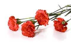 röda nejlikor Royaltyfri Bild