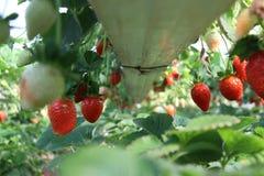 Röda nya jordgubbar i det smakliga fältet Arkivbilder