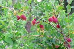 Röda nya krusbär på filial på trädgården i sommar med gröna sidor royaltyfria foton