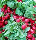 röda nya rädisor för lantgård Arkivbild
