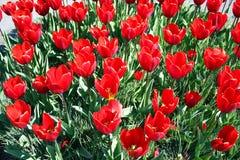 Röda nya tulpan på den Keukenhof trädgården Arkivfoto