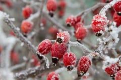 Röda nyponbär i vinterfrostcloseup Makro Arkivfoto