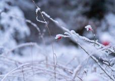 Röda nyponfilialer som täckas med snö arkivfoto