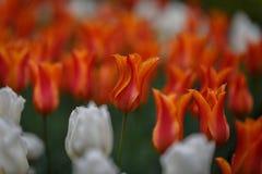 Röda och apelsin färgade blommor som omges av vita blommor Royaltyfri Fotografi