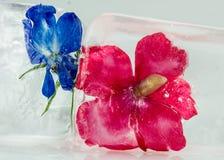 Röda och blåa blommor i is Fotografering för Bildbyråer
