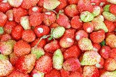 Röda och gröna bär av den lösa jordgubben. Royaltyfria Bilder
