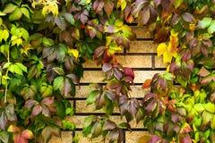 Röda och gröna sidor för guling, av lösa druvor på en tegelstenvägg fotografering för bildbyråer