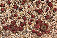 Röda och gröna suckulenta växter som växer på naturen Royaltyfria Foton