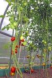 Röda och gröna tomater i ett växthus Royaltyfri Bild