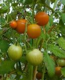 Röda och gröna tomater på en filial på en säng i ett växthus Arkivbilder