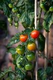 Röda och gröna tomater på vine royaltyfri foto