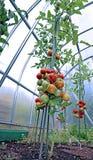 Röda och gröna tomater som mognar på busken i ett växthus Arkivfoton