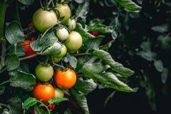 Röda och gröna tomater som växer på växten arkivbild