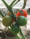 Röda och gröna tomater växer på rissommar i växthuset Arkivfoto