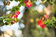 Röda och gröna trädsidor Royaltyfria Foton