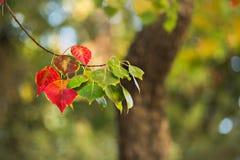 Röda och gröna trädsidor Royaltyfri Fotografi
