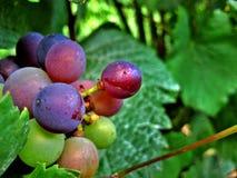 Röda och gröna Winedruvor royaltyfri foto