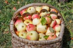 Röda och gula äpplen i korgen - höst på den lantliga trädgården Arkivbilder