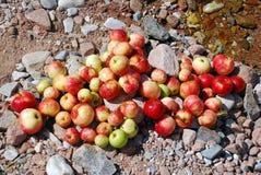 Röda och gula äpplen på jordningen Arkivfoton