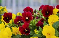 Röda och gula blommor Royaltyfri Foto