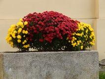 Röda och gula blommor i cementkrukor Royaltyfri Foto