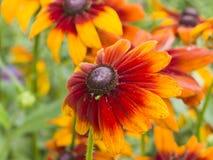 Röda och gula blommor närbilden, den selektiva fokusen, grund DOF svärta för den synade Susan, för Rudbeckia hirtaen, Arkivfoton