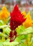Röda och gula celosia- eller tuppkamblommor Fotografering för Bildbyråer