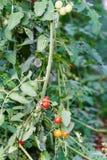 Röda och gula Cherry Tomatos Arkivfoto