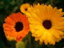 Röda och gula Daisy Flower Arkivfoto