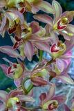 Röda och gula Dendrobiumorkidéblommor royaltyfri fotografi