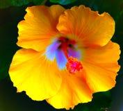 Röda och gula färger för Closeup inom en blomma Arkivfoton