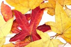 Röda och gula höstleaves Arkivfoto