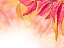 Röda och gula leaves för höst Arkivfoto