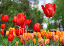 Röda och gula tulpan Royaltyfri Bild