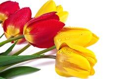 Röda och gula tulpan som isoleras på vit Arkivfoto