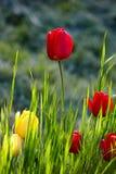 Röda och gula tulpanblommor i grönt gräs på suddig grön bakgrund fotografering för bildbyråer