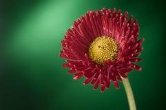 Röda och gula zinniaelegans blommar blomningen mot grön backg Arkivfoto