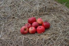Röda och mogna äpplen på hö i höst äppleäpplefilialen bär fruktt leavesfruktträdgården Arkivfoto